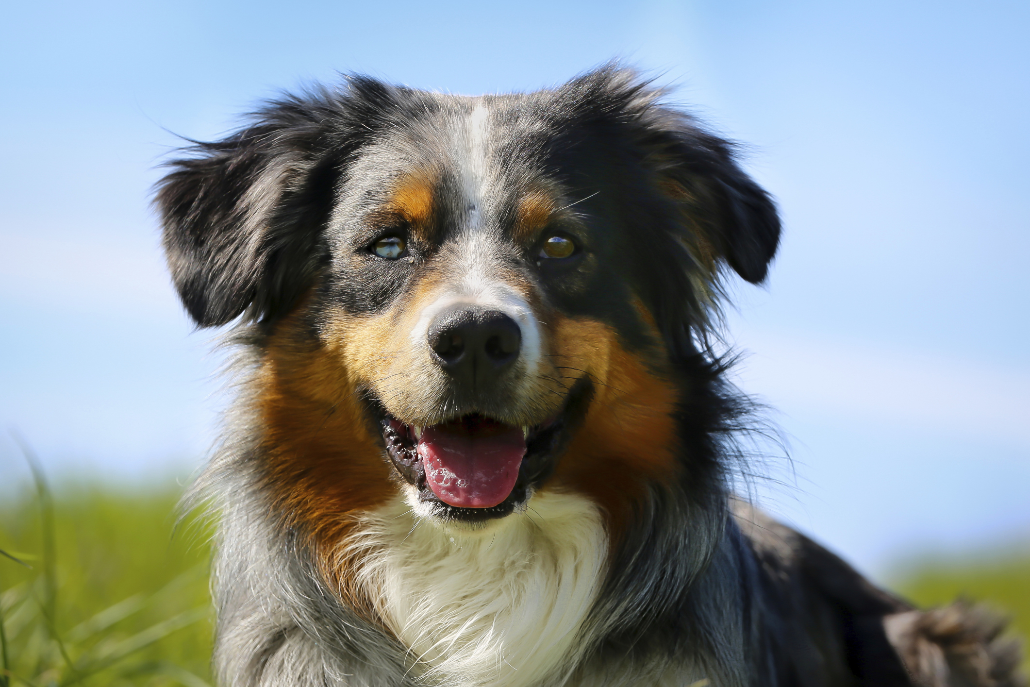 D B Farm Border Collies Border Collie - Guia d...